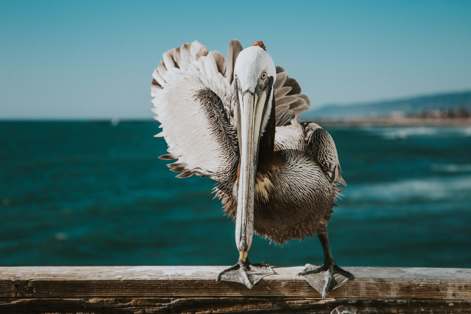 6e.1 Pelican wonders why you don't click these links to contact Dani Reyes-Acosta Photo Vince Fleming via Unsplash (1)